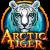 Artic_Tiger